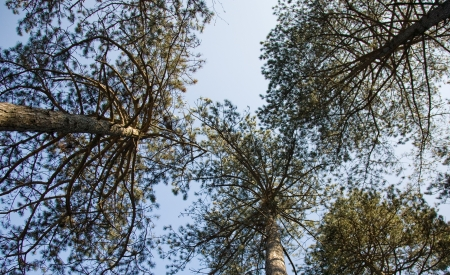 pine tree branches upward the blue sky in pine forest photo