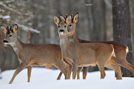 capreolus: Roe deer in snow