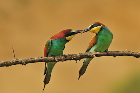 Bee-eaters photo