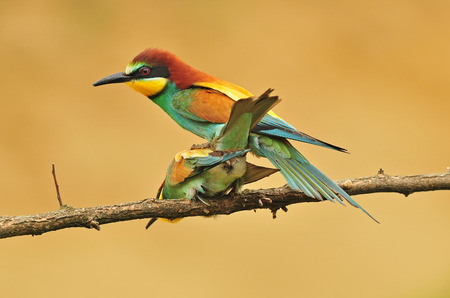 mating colors: Bee eaters mating