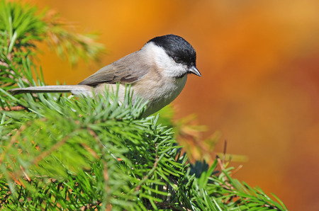 Marsh tit photo