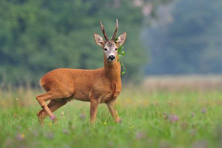 Roe deer Zdjęcie Seryjne - 27322272