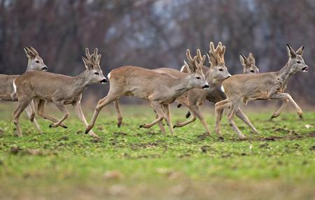 Roe deers running Standard-Bild