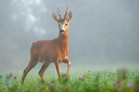 Reeën in de ochtend mist