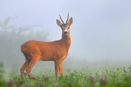 capreolus: Roe deer in the morning fog