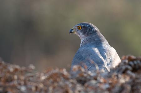 goshawk: Goshawk bird Stock Photo