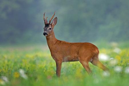 Roe deer Zdjęcie Seryjne - 27460678