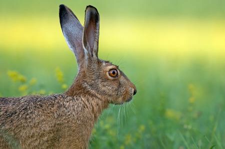 Hare Zdjęcie Seryjne - 27551655