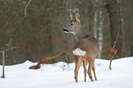 冬の雪のノロジカ