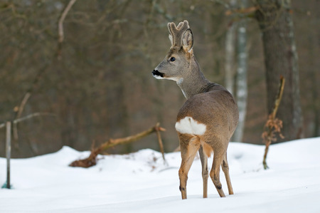 Roe deer in snow winter  Standard-Bild