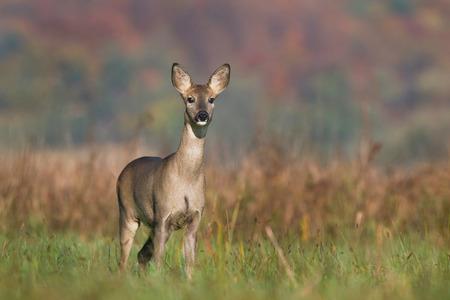 Roe deer Imagens - 27939233