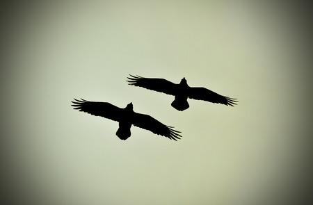 corvus: Pair of ravens flying