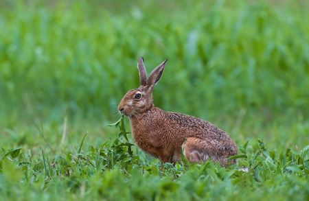 Wild brown hare in a field eating weed