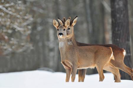 roebuck: Roe deer in winter