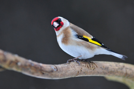 Goldfinch Standard-Bild