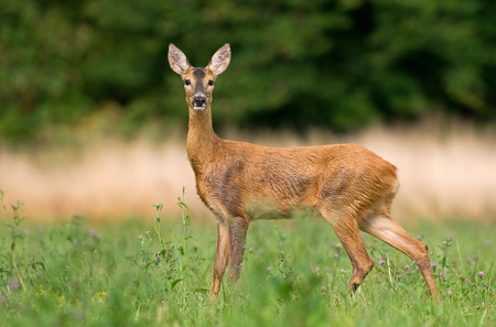 capreolus: wild Roe deer Stock Photo