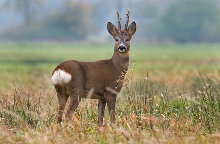 bucks: Roe deer