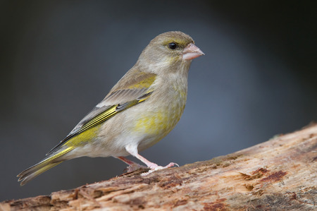 greenfinch: Greenfinch bird Stock Photo