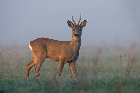 Roe deer in morning fog
