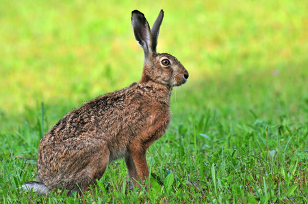 Brown hare Standard-Bild