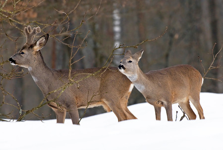 capreolus: Roe deer in winter eating branches