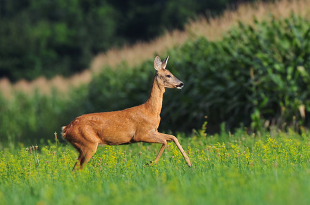 capreolus: Roe deer running Stock Photo