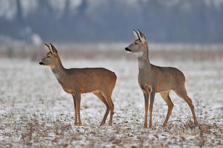 冬のノロジカ 写真素材