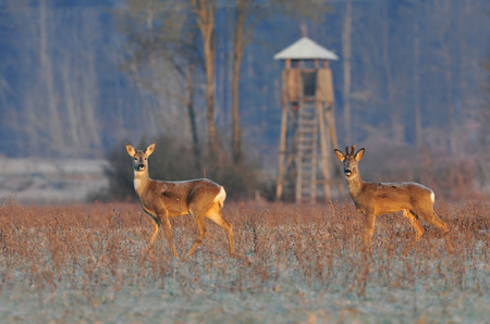 Roe deer in winter with hunting tower photo