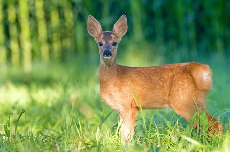 Roe deer - bambi Stock fotó