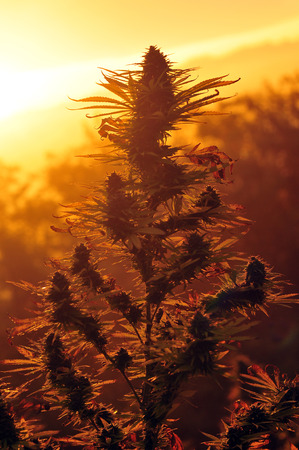 Marijuana at sunrise