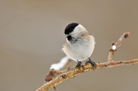 poecile palustris: Marsh tit