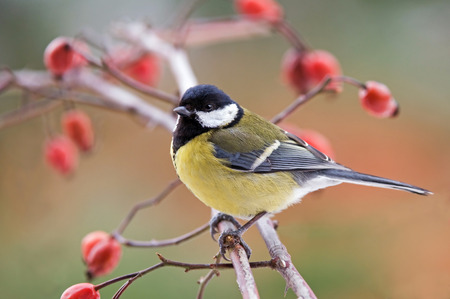 Great tit Фото со стока - 29495621