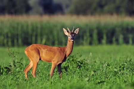 roebuck: Roe deer