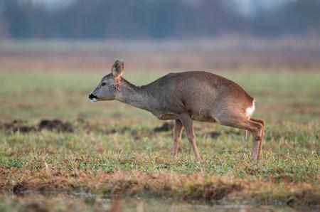 peeing: Roe deer peeing