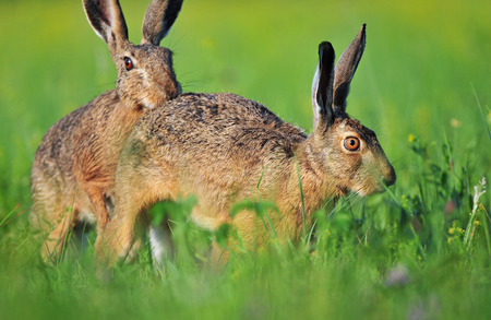 Two brown hare Standard-Bild