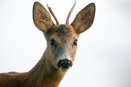 roebuck: Close up photo of roe deer Stock Photo