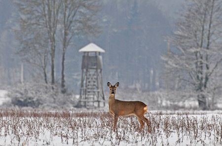 capreolus: Roe deer with hunting tower in the background