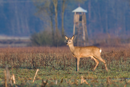 Roe deer with hunting tower in the background