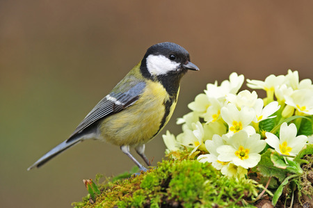 great tit: Great tit with primrose Stock Photo