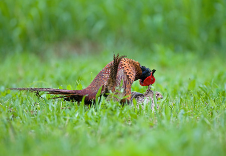 animal sex: Male and female pheasant making love