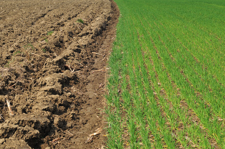 furrow: Plowed land and cereal field