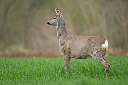 capreolus: Photo of roe deer standing in a wheat field Stock Photo