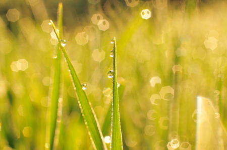sun lit: Morning dew on a grass at sunrise