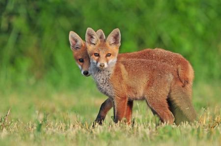 cachorro: Dos zorros rojos salvajes en un campo