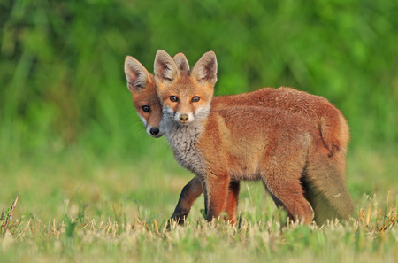 two animals: Two wild red foxes in a field Stock Photo