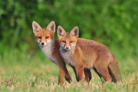 Two red foxes in a field