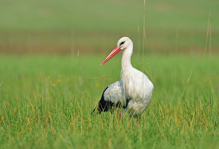 migrate: Photo of white stork in a field