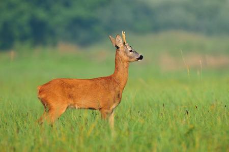 roebuck: Photo of wild roe deer in a field