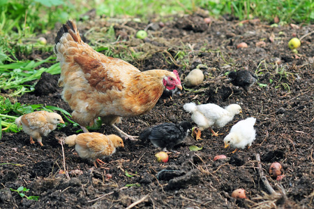 group search: Mother hen with chickens seaching for food