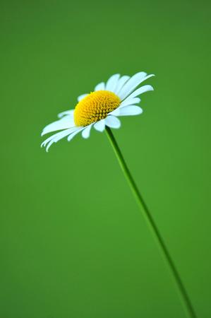marguerite: Daisy sur fond vert